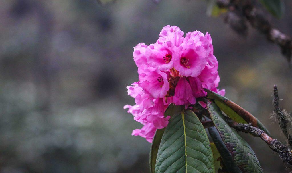 Pink-Rhododendron-Flower-in-Bhutan